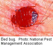 Bedbugs' Genes May Protect Them From Insecticides
